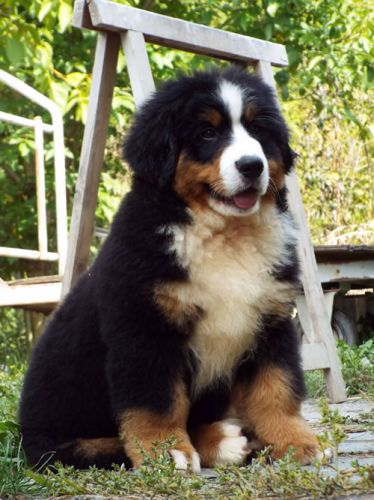 Puppies Berner Dog